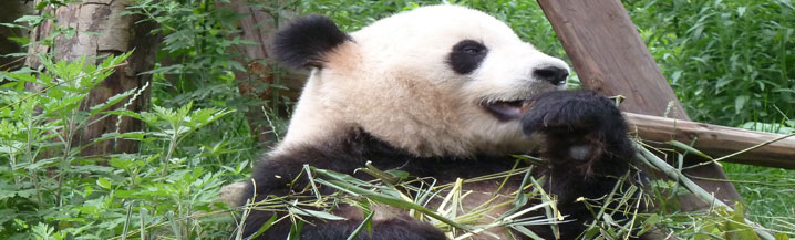 Panda Extension on the Great Wall of China and Cycle Charity Challenge